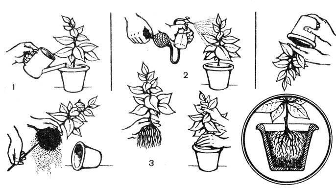 Как размножить розмарин — способы