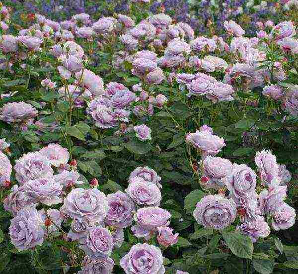 Розы кордеса - история и сорта.