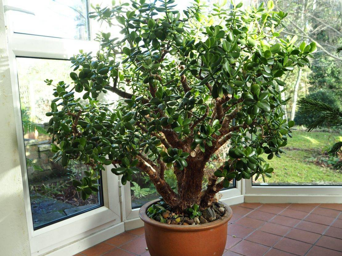 Денежное дерево — как ухаживать, основные проблемы при выращивании