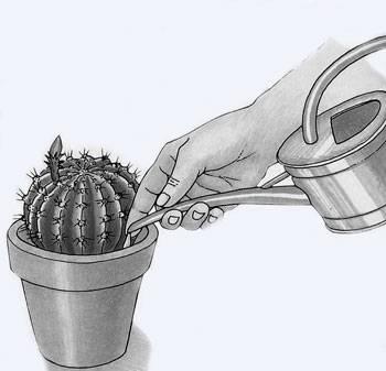Правила идеального полива: как поливать кактус в домашних условиях летом и зимой?