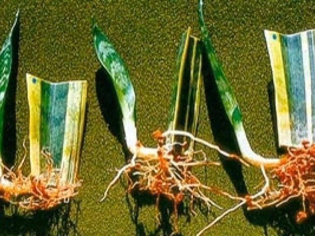 Сансевиерия: уход в домашних условиях, фото, пересадка, размножение, свойства