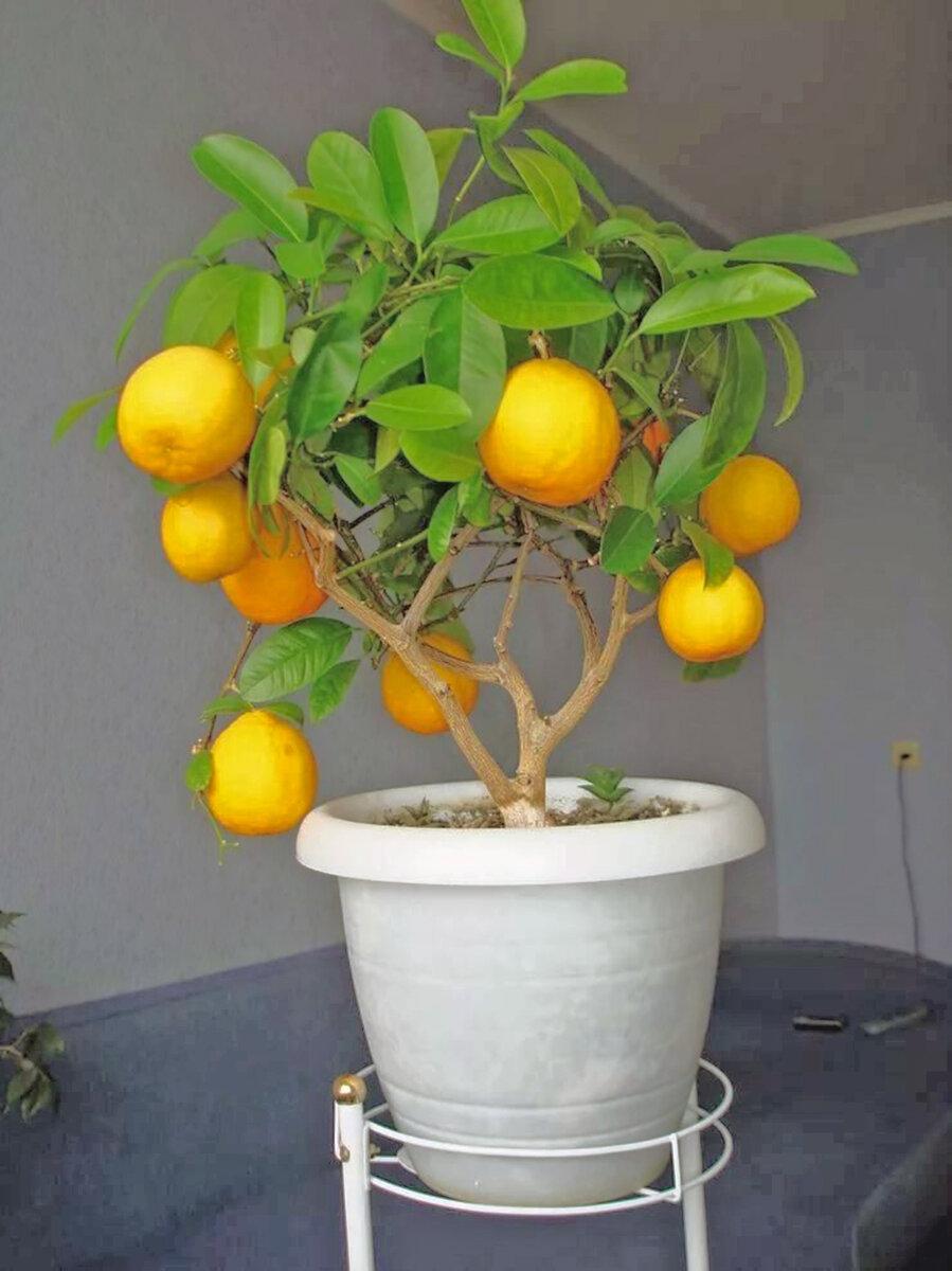 Комнатный лимон: подробное описание, родина и фото растения