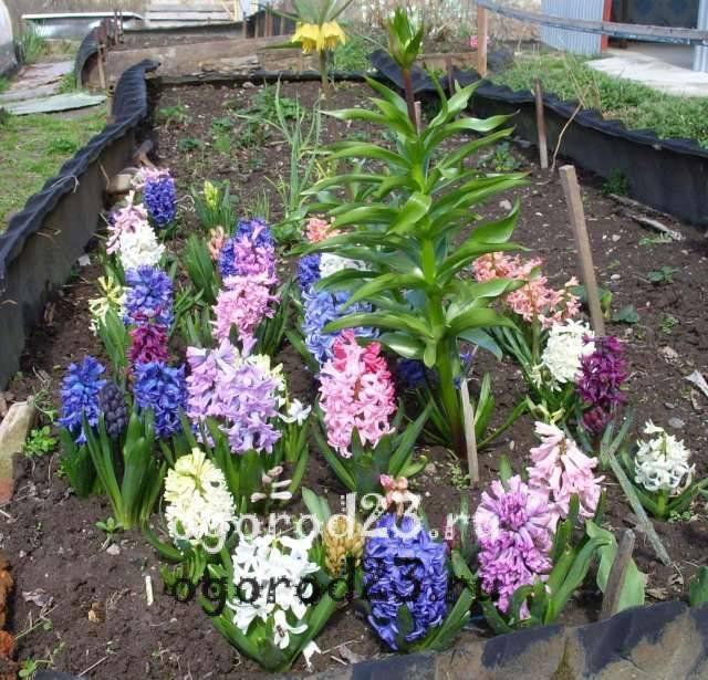 Гиацинты: особенности в выращивании цветка, посадка и уход в открытом грунте, размножение гиацинтов