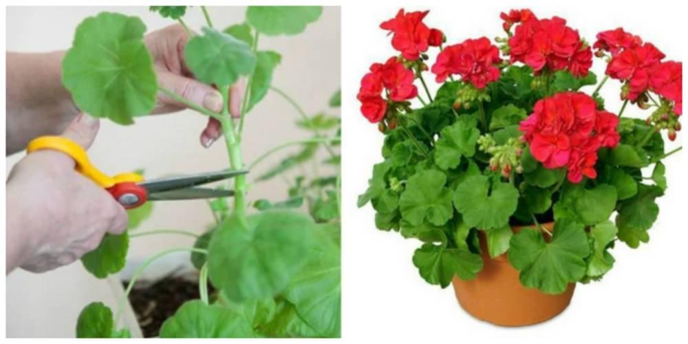 Герань — обрезка для пышного цветения, чтобы она цвела и была пушистой