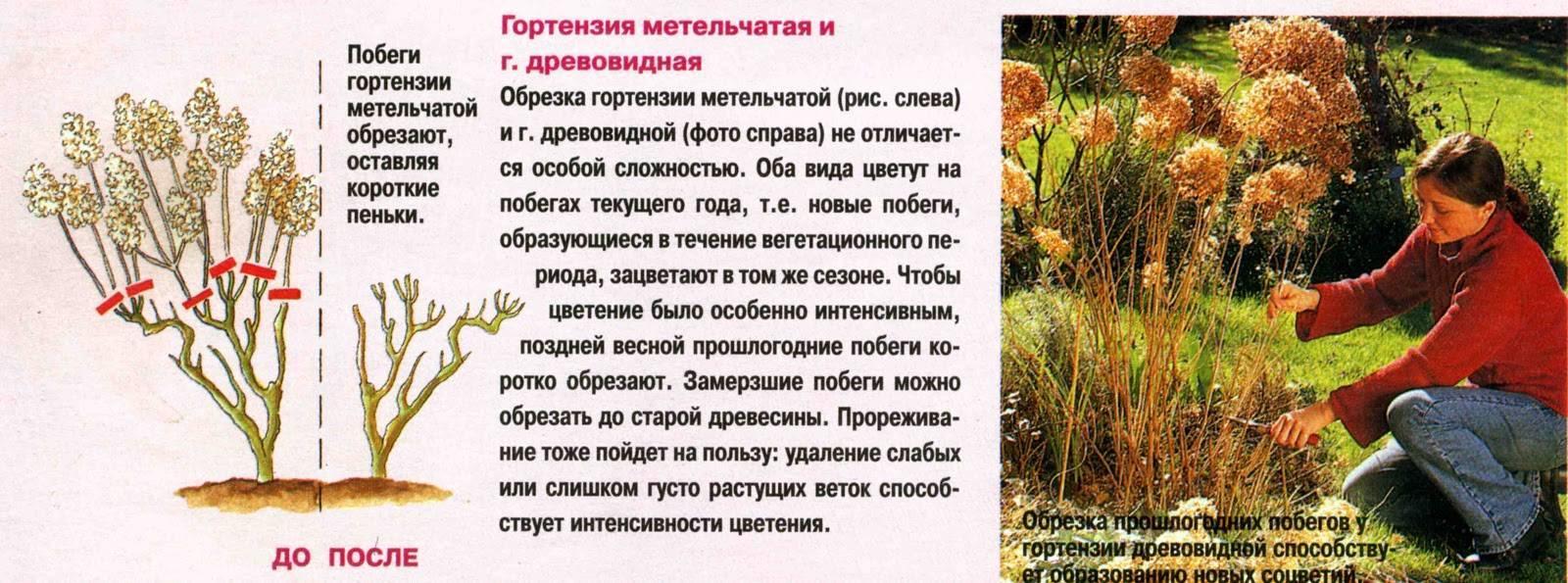 Гортензия «грандифлора» (31 фото): описание сорта гортензии метельчатой grandiflora, посадка и уход в открытом грунте, зимостойкость