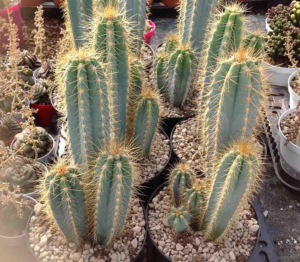 Цереус древний кактус с многообразием видов, популярные представители: перуанский, монстрозный