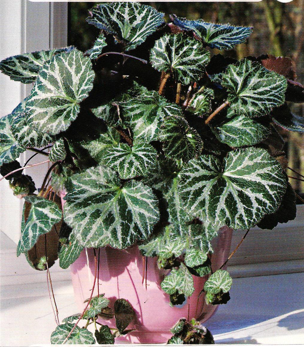 Особенности ухода и выращивание из семян лианы — «камнеломка арендса»