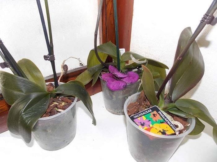 Листья орхидеи потеряли тургор и морщинятся — причины