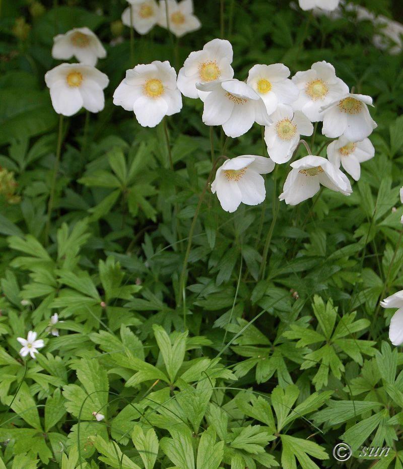 Анемоны: выращивание и уход
