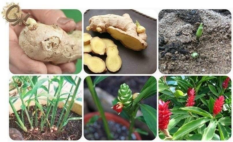 Выращивание имбиря в домашних условиях: как сажать, уход