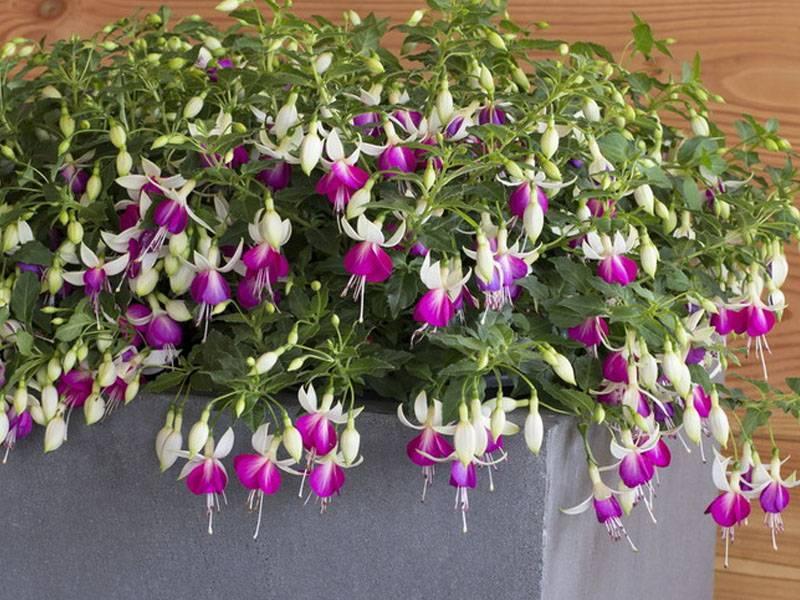 Размножение фуксии: инструкция по выращиванию растения из листа, правила ухода в домашних условиях и возможные болезни