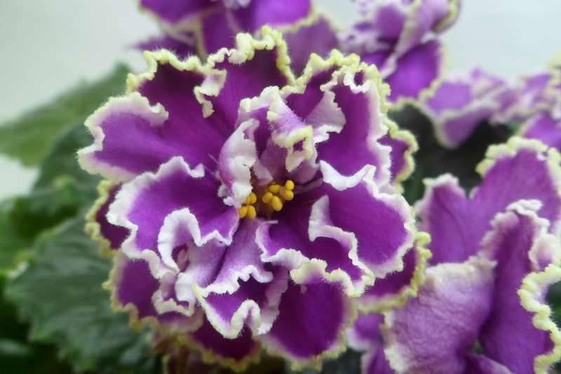Фиалка «эсмеральда»: описание и выращивание