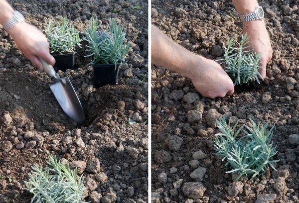 Лаванда: выращивание и уход в открытом грунте. мой опыт применения , фото лаванды в моём саду
