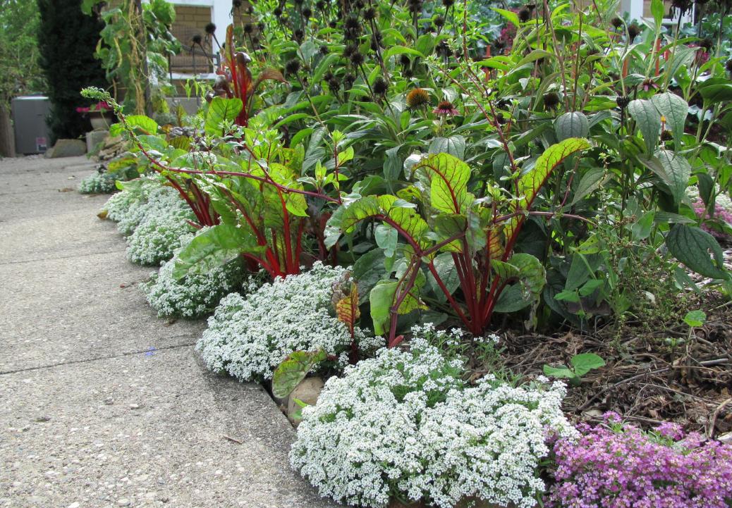 Цветы «алиссум»: фото, выращивание из семян, посадка и уход в открытом грунте