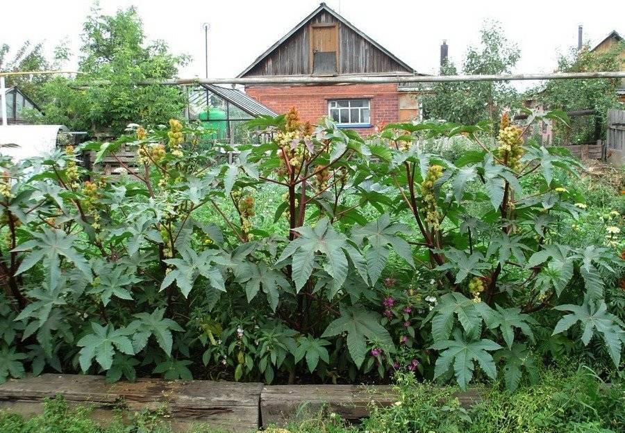 Клещевина обыкновенная и касторовое масло из её семян