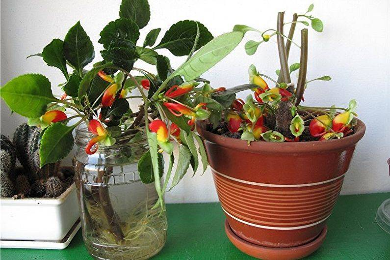 Уход за бальзаминами комнатными: посадка, размножение, выращивание