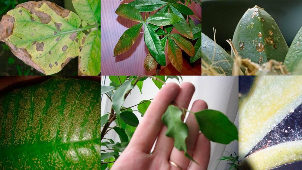 Почему могут опадать и сохнуть листья у кротона дома: болезни, вредители