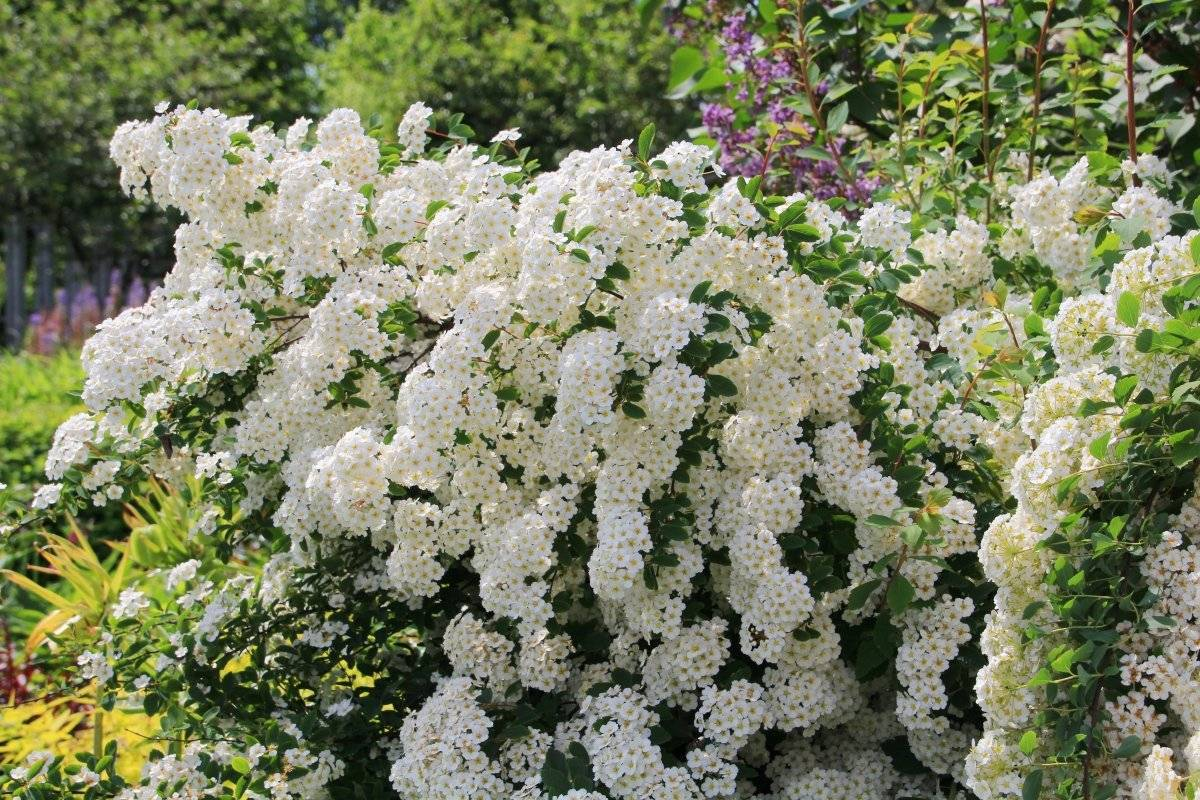Спирея (Spiraea) — виды и сорта с белыми и розовыми цветами