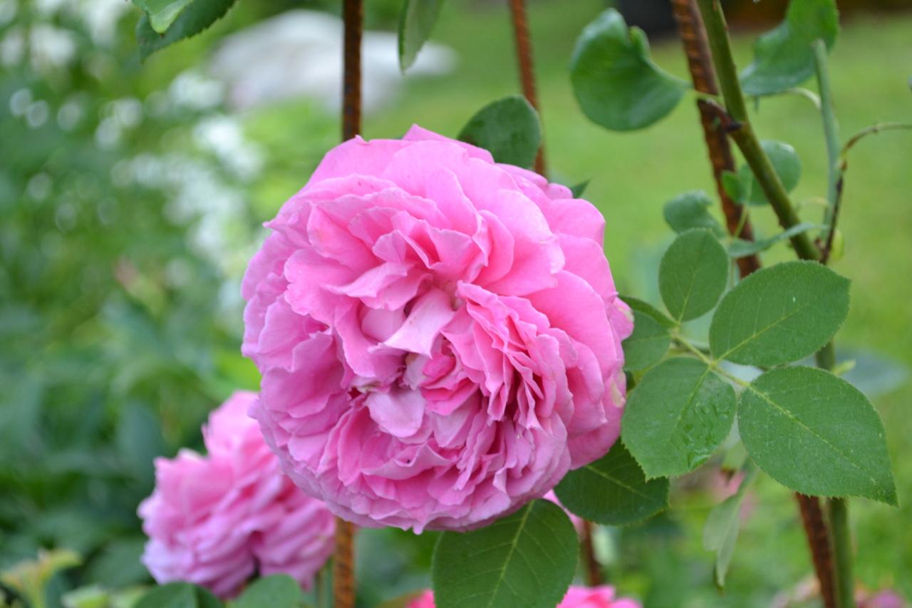 Описание чайно-гибридной розы сорта вау: особенности посадки и ухода за кустом