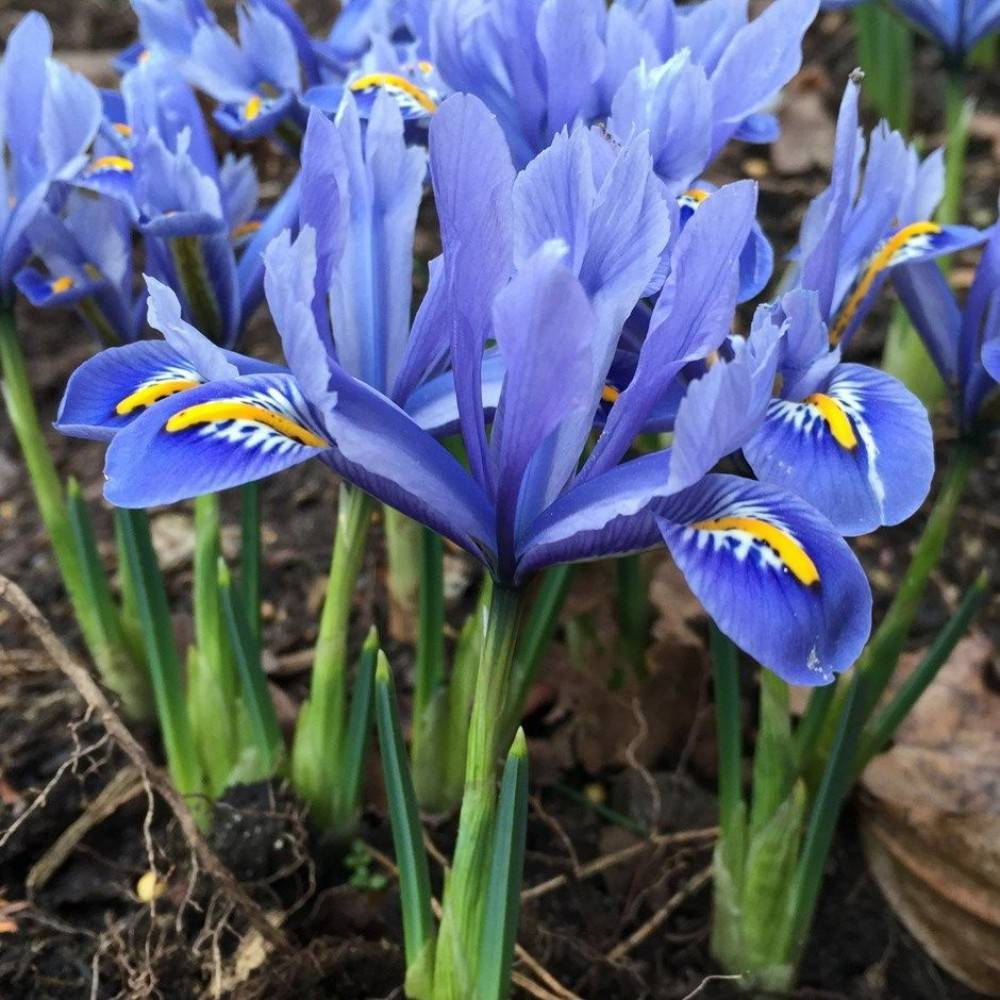 Ирисы iris