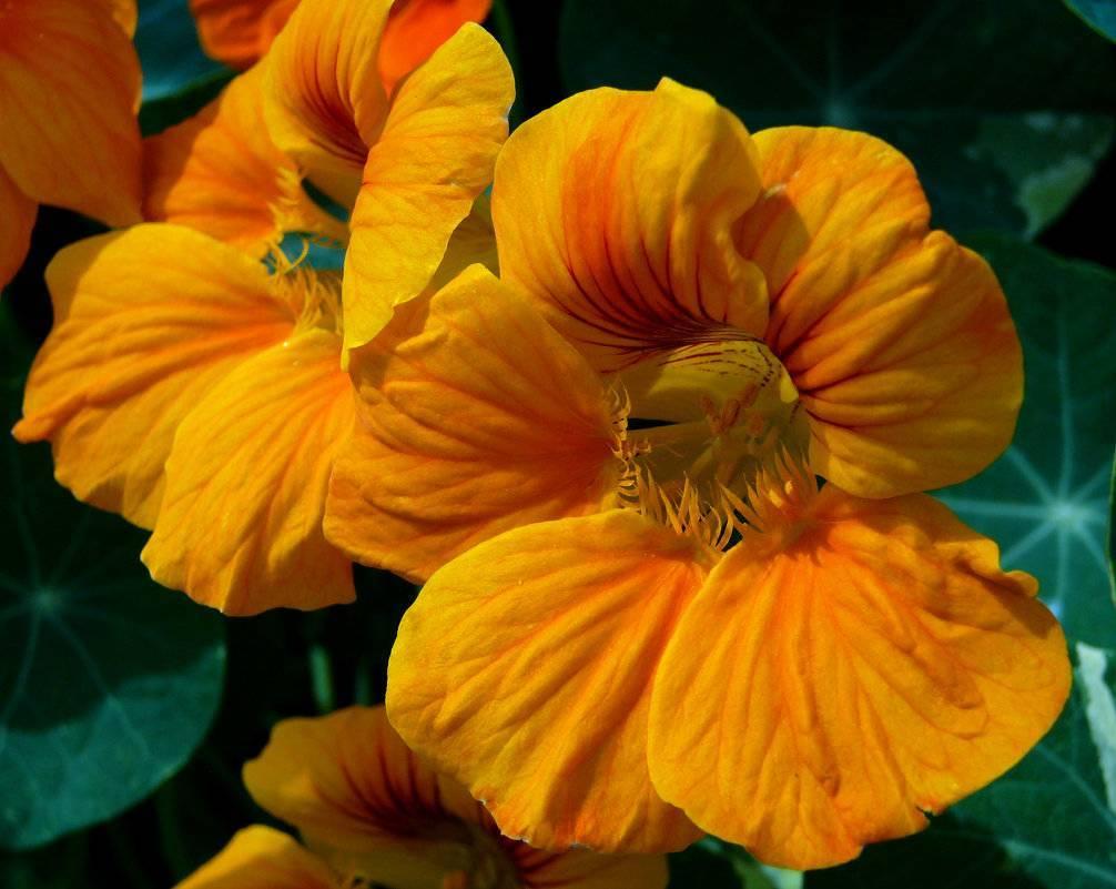 Настурция: посадка и уход, фото, секреты выращивания, когда сеять семена в грунт и на рассаду, болезни и вредители