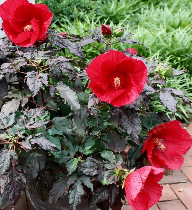 """Гибискус изменчивый (hibiscus mutabilis), или """"сумасшедшая роза"""": фото и описание, выращивание из семян и черенков, уход в домашних условиях и похожие цветы"""