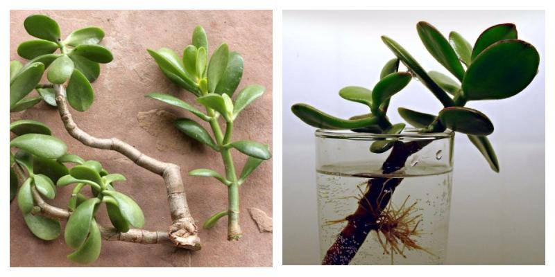 Как пересаживать денежное дерево: алгоритм пошагово, фото толстянки, как правильно укоренить в другой горшок в домашних условиях, когда можно и в какую почву лучше?