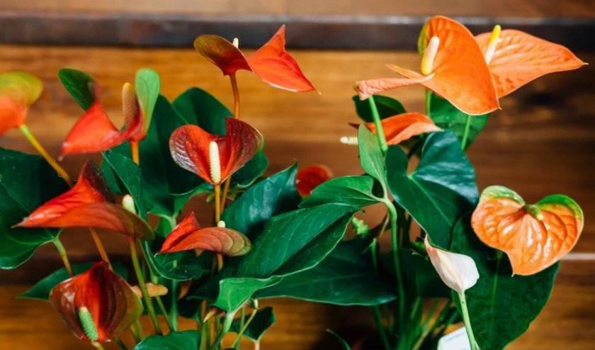 Антуриум оранжевый: фото и описание разновидностей – беби оранж, чемпион и не только, правила ухода в домашних условиях, болезни и вредители, похожие цветы