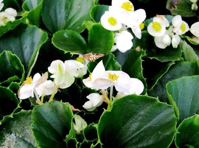 Бегония вечноцветущая: уход в домашних условиях, фото, размножение черенками, выращивание из семян, а также зимовка комнатного цветка
