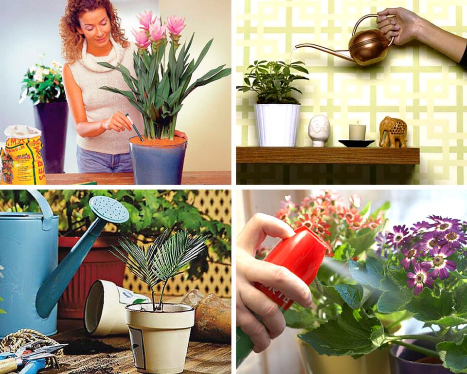 Как спасти цикламен в домашних условиях — что делать с погибающим цветком