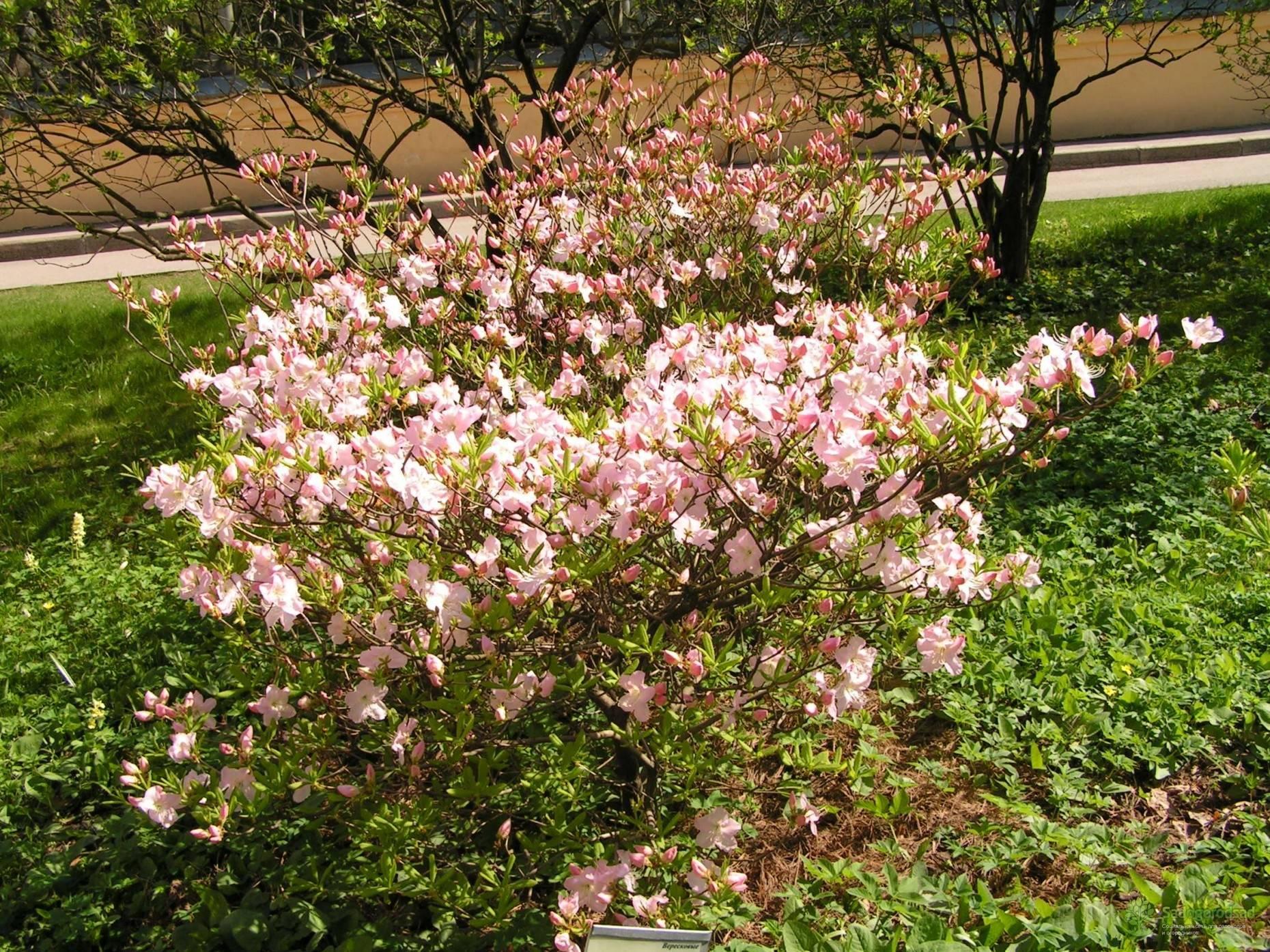 Рододендрон шлиппенбаха (27 фото): выращивание «розового дерева» из семян, его описание. правила посадки и ухода