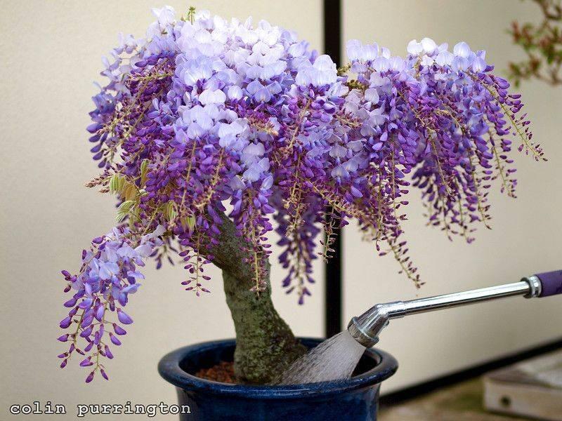 Выращивание дерева глицинии. описание и фото разновидностей, особенности ухода