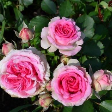 Роза спрей: фото и описание сортов