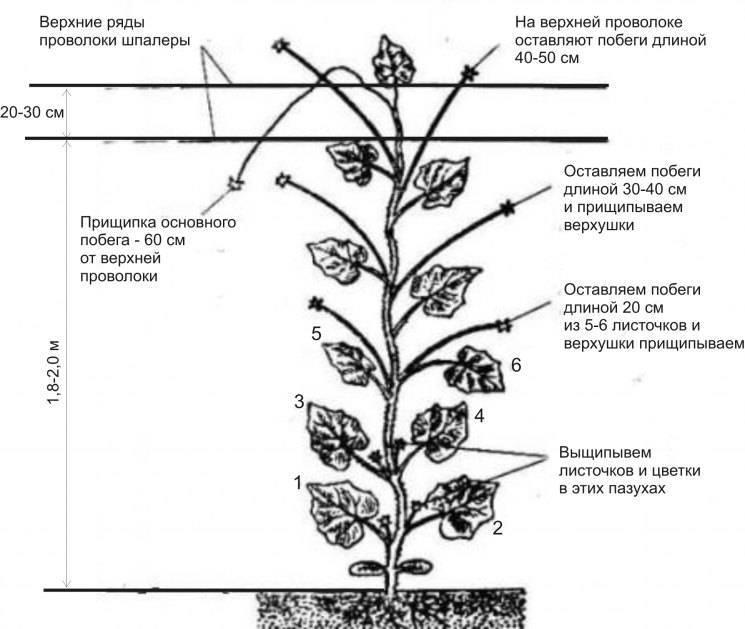 Как правильно делить корневища георгин?