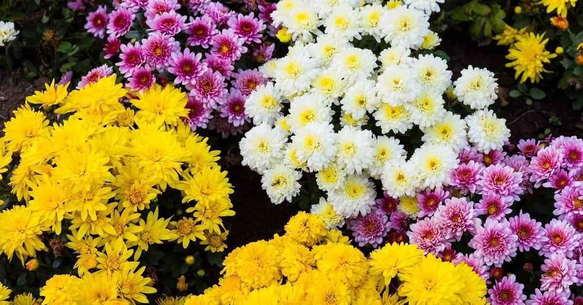 Индийская хризантема: характерные особенности, выращивание, уход и отзывы
