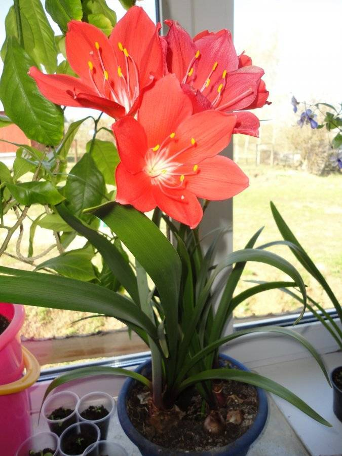 Валлота — уход в домашних условиях и виды комнатного растения ?
