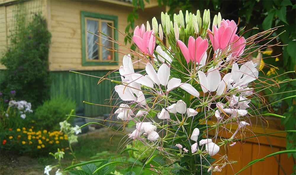 Клеома: фото цветов, особенности ухода и выращивания, советы