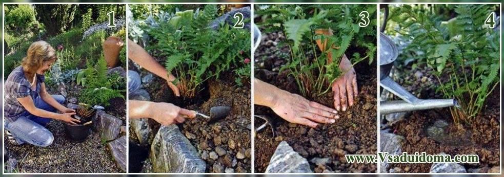 Агротехника выращивания цветка платикодона в открытом грунте: как ухаживать, размножать