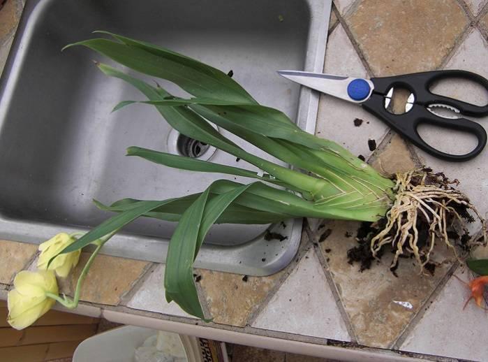Разновидности орхидеи цимбидиум и уход за цветком: варианты пересадки и цветения