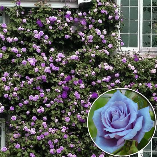 Розы спрей (44 фото): описание лучших сортов. особенности посадки и ухода. как размножать розы? как подготовить их к зиме?