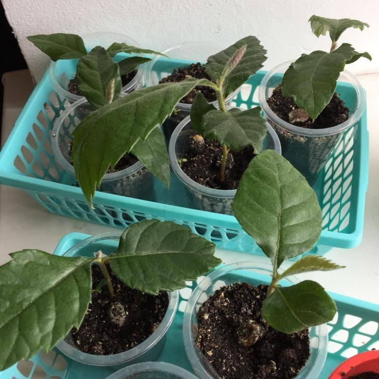 Как вырастить мушмулу из косточки в домашних условиях?