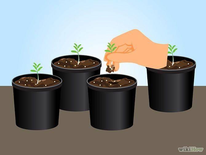 Выращивание лаванды из семян в домашних условиях