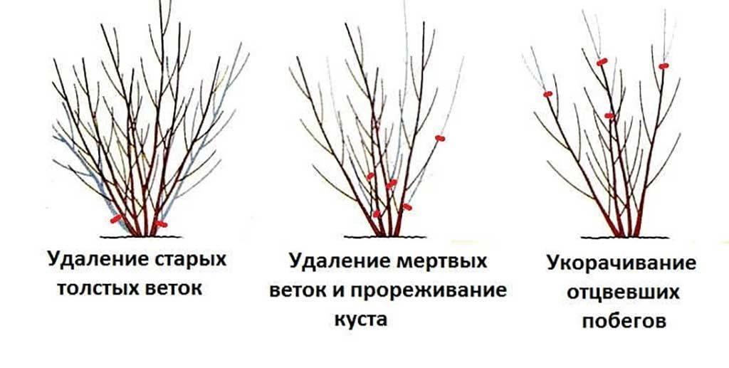 Как размножить спирею, чтобы получить пышно цветущие кусты как можно быстрее