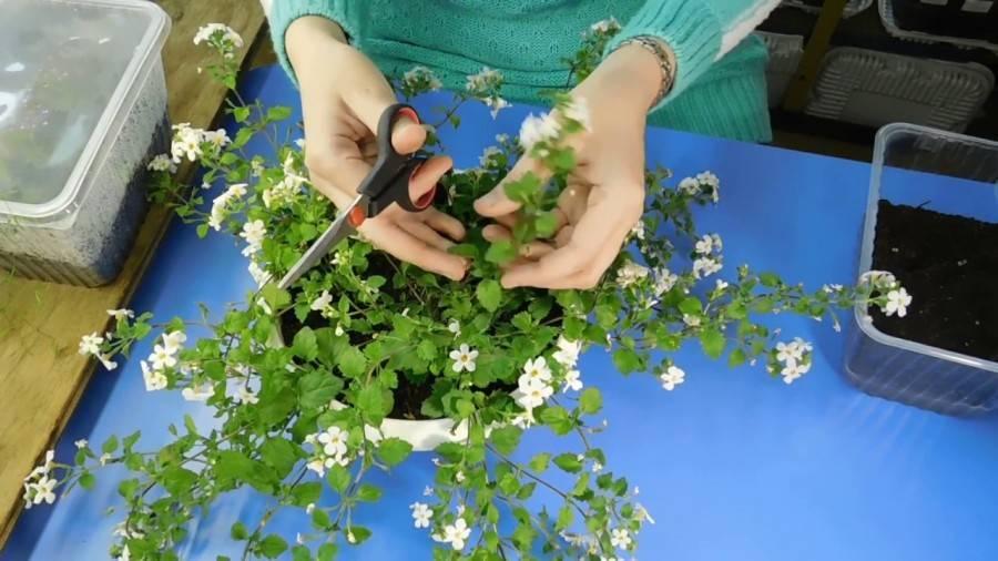 Бакопа (60 фото): ампельная и раскидистая бакопа, выращивание, посадка семян и уход за травянистым растением в открытом грунте, описание