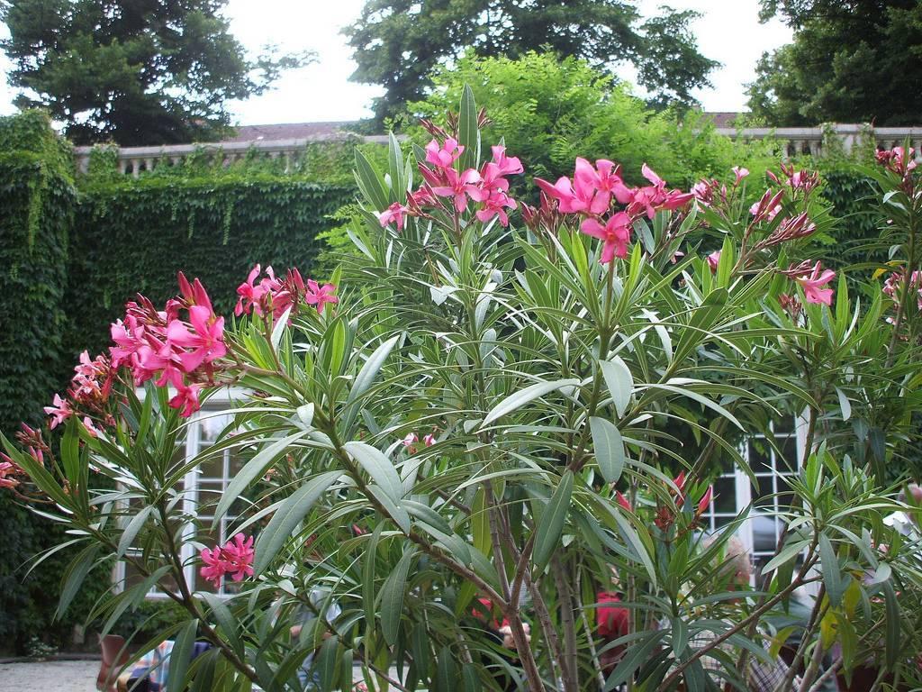 Ядовитое растение олеандр: посадка и уход в домашних условиях, фото