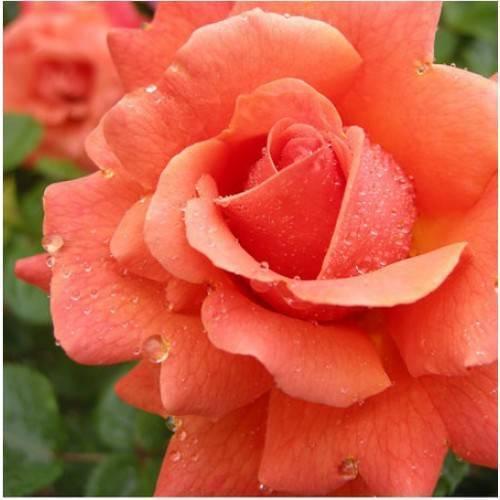 Роза боника: описание, фото - общая информация - 2020