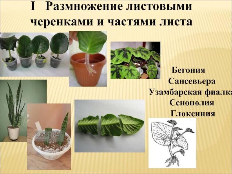 Как ухаживать за гастерией в домашних условиях: разновидности комнатного растения