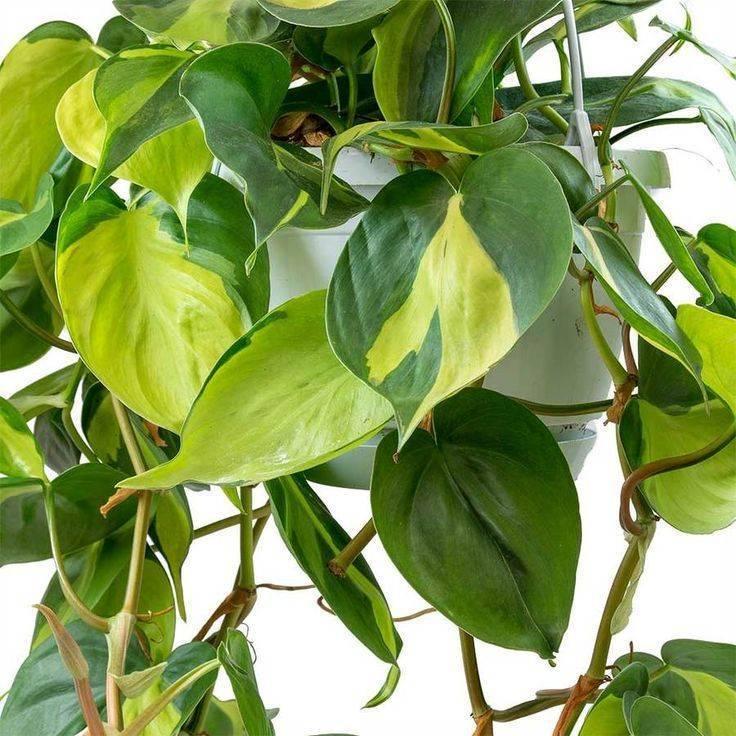 Филодендрон: особенности выращивания тропического красавца