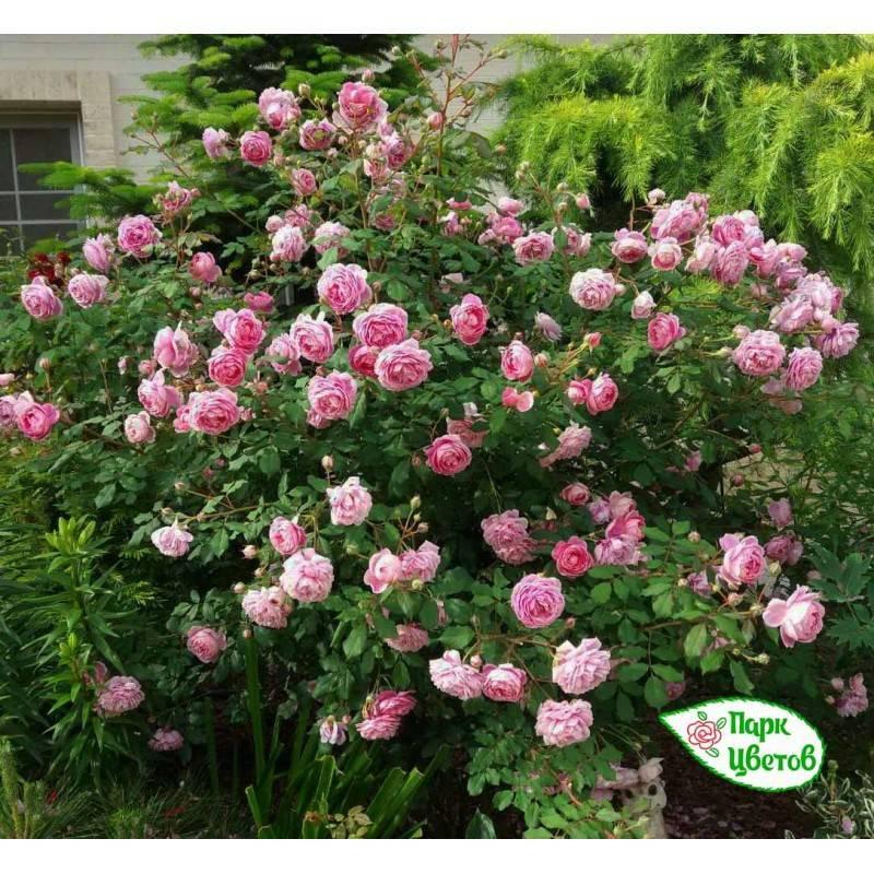 Старинные, английские и канадские парковые розы: название, описание и фото сортов