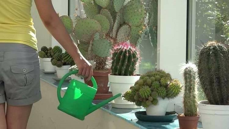 Как часто поливать кактус